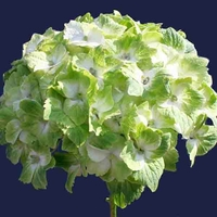 Hydrangea macrophylla 'Noblesse' 20/40 C4L