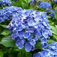 Hydrangea macrophylla (Hovaria) 'Hopcorn' ® 20/40 C4L