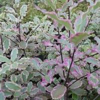 Pittosporum tenuifolium 'Elisabeth' 30/40 C4L