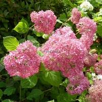 Hydrangea arborescens 'Invincibelle' ® 30/40 C4L