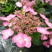 Hydrangea macrophylla 'Dancing Lady' 20/40 C4L