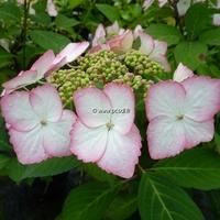 Hydrangea macrophylla 'Dolce Kiss' ® 20/40 C4L
