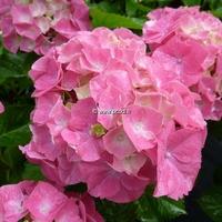 Hydrangea macrophylla 'Heinrich Seidel' 20/40 C4L
