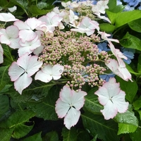 Hydrangea macrophylla (Hovaria) 'Love You Kiss' ® 20/40 C4L
