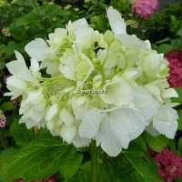 Hydrangea macrophylla 'Pirouette' 20/40 C4L