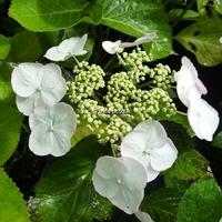 Hydrangea macrophylla 'Sandra' ® 20/40 C4L