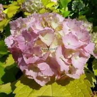 Hydrangea macrophylla 'Ogonba' 20/40 C4L