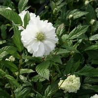 Rubus rosifolius 'Coronarius' 30/40 C4L