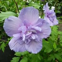 Hibiscus syriacus 'Blue Chiffon' ® 40/60 C4L