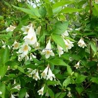 Abelia spathulata 60/80 C4L
