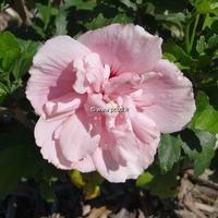 Hibiscus syriacus 'Pink Chiffon' ® 40/50 C4L
