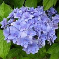 Hydrangea macrophylla (you&me) 'Expression' ® 20/40 C4L