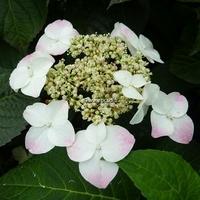 Hydrangea serrata 'Macrosepala' 20/40 C4L