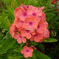 Phlox 'Orange Perfection' C3L