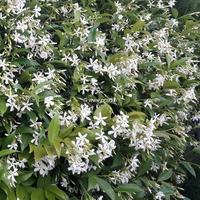 Trachelospermum jasminoides 40/60 C4L