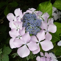 Hydrangea macrophylla 'Beauté Vendômoise' 20/40 C4L