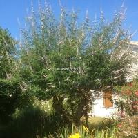 Vitex agnus-castus 'Rosea' 40/50 C4L