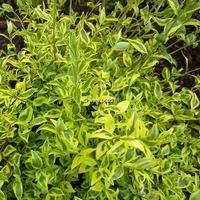 Abelia x grandiflora 'White Gold' 30/40 C4L