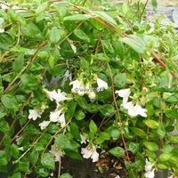 Abelia 'Petite Garden' ® 30/40 C4L