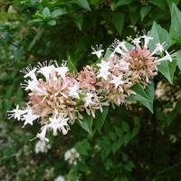 Abelia chinensis 40/60 C4L