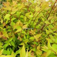 Abelia x grandiflora 'Boule de Feu' 30/40 C4L