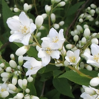 Deutzia gracilis 'Nikko' 30/40 C4L