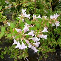 Abelia 'Auderose' ® 30/40 C4L