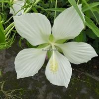 Hibiscus coccineus 'Lone Star' C3L