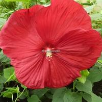 Hibiscus moscheutos 'Southern Belle' (rouge foncé) C3L