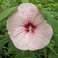 Hibiscus x moscheutos 'Joli Coeur' ® C3L