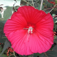 Hibiscus x moscheutos 'Pink Passion' ® C3L