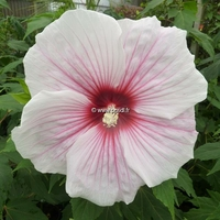 Hibiscus x moscheutos 'Kopper King' C3L