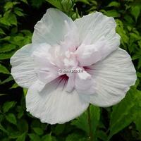 Hibiscus syriacus 'China Chiffon' ® 40/60 C4L