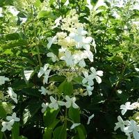 Hydrangea paniculata 'Levana' ® 40/50 C3,5L