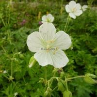 Geranium clarkei 'Kashmir White' C3L