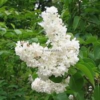 Syringa vulgaris 'Madame Lemoine' 30/40 C4L