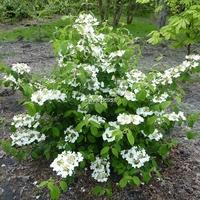 Viburnum plicatum 'Shoshoni' 80/100 C10L