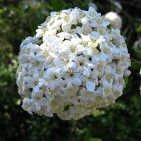 Viburnum x burkwoodii 40/60 C4L