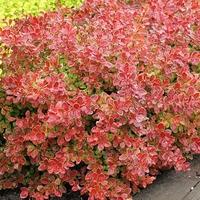 Berberis thunbergii 'Coral' ® 30/40 C4L