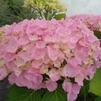 Hydrangea macrophylla 'Belle Séduction' ® 20/40 C4L