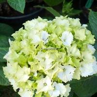 Hydrangea macrophylla 'Jade' 20/40 C4L