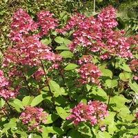 Hydrangea paniculata 'Wim's Red' ® 40/60 C4L