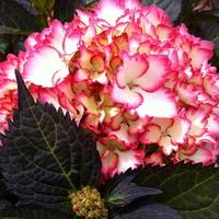 Hydrangea macrophylla 'Saskia' ® 20/40 C4L