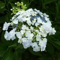 Hydrangea macrophylla 'Trophée' 20/40 C4L