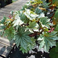Begonia 'Silver Splendor' C3L