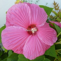 Hibiscus moscheutos 'Southern Belle' (rose vif) C3L