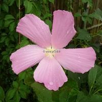 Hibiscus palustris C3L