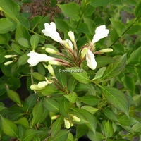Weigela 'Black & White' ® 30/40 C4L