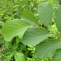 Pterostyrax corymbosa 175/200 C7,5L