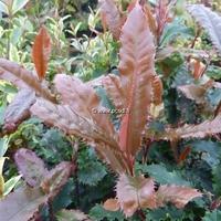 Photinia serratifolia 'Crunchy' ® 30/40 C4L